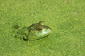 Stock Photo of Bullfrog in Duckweed — Foto de Stock