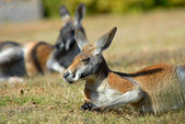 Känguru — Stockfoto