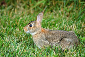 Watchful Rabbit — Stock Photo