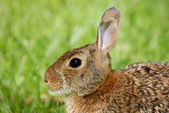 Watchful Rabbit — Stockfoto