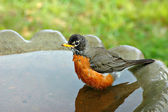 Robin in Birdbath — Stock Photo