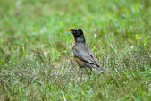 Robin in Grass — Stock Photo