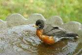 Bathing Robin — Stock Photo