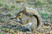 Squirrel Eating — Foto Stock