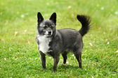 Watchful Chihuahua — Stockfoto