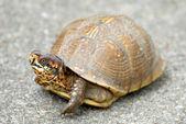 Box Turtle — Foto de Stock