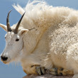 Mountain Goat — Stock Photo #19757259