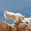 Royalty-Free Stock Photo: Baby Mountain Goats