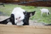 La goatling leva les yeux sur la clôture et de la recherche — Photo