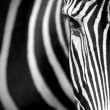 Grevy's zebra close up. — Stock Photo