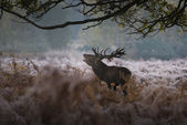 Red deer in a misty morning — Stock Photo