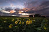 Colorful sunset over the sunflower meadow — Stock Photo