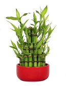 Lucky Bamboo — Stock Photo