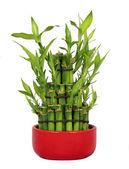 Lucky Bamboo — Stock Photo