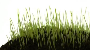 Green grass growing isolated on white, smooth timelapse, with slowly zooming and panning. — Stock Video
