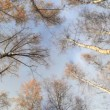 Stock Video: Looking up in birch trees.