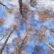 Looking up in birch trees — Stock Video #18417361