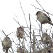 Flock of sparrows sitting on bare bush - Stock Photo