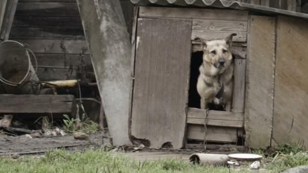 Perro asoma fuera de la casa de perro — Vídeo de stock