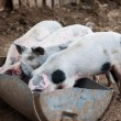 Four little pigs eat in the barn — Stock Photo