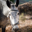 Large gray donkey — Stock Photo