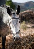 Large gray donkey — Stock Photo