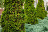 Fir trees on the street — Stock Photo