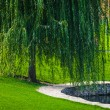 Green willow — Stock fotografie