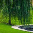 Green willow — Foto Stock