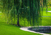 Green willow — Stock Photo