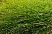 Green grass blades background — Stock Photo