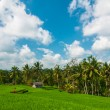 Rice field and coconut palms — Stock Photo