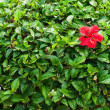 Hibiscus flower — Stock Photo #17692859