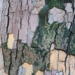 The bark of a sycamore tree - Stock Photo