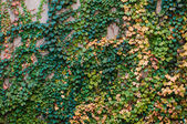 Stone wall with grapevine — Stock Photo