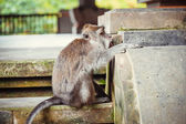 Macacos de cola larga — Foto de Stock