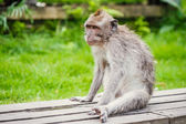 Macaco-de-cauda-comprida — Foto Stock