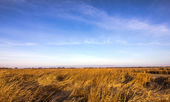 Big field of dry cane — Stock Photo