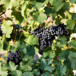 Stock Photo: Bunches of ripe juicy dark grapes