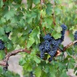 Stock Photo: Several bunches of ripe black grapes