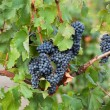 Stock Photo: Bunches of ripe grapes