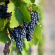 Stock Photo: Several bunches of ripe grapes