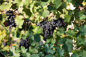 Bunches of ripe juicy dark grapes — Stock Photo