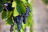 Several bunches of ripe grapes — Stock Photo