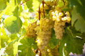Bunch of ripe yellow grapes — Stock Photo