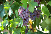 Cachos de uvas maduras — Foto Stock