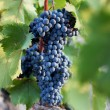 Stock Photo: Several bunches of ripe dark grapes