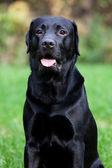 Black labrador retrieve — Stock Photo