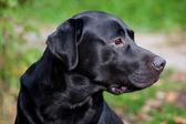 Black labrador retriever — Stock Photo