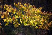 Heester met vergeling bladeren op de takken — Stockfoto